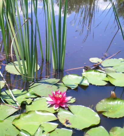 A pink water lilly flower surrounded by lilly pads and reeds. The reflection of distant reeds can be sen in the water.