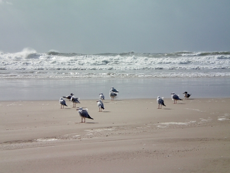A group of seagulls standing on a beach. The wind is ruffling their feathers. Waves of a rough surf are breaking in the background. The sky is grey-blue. Stock Photo