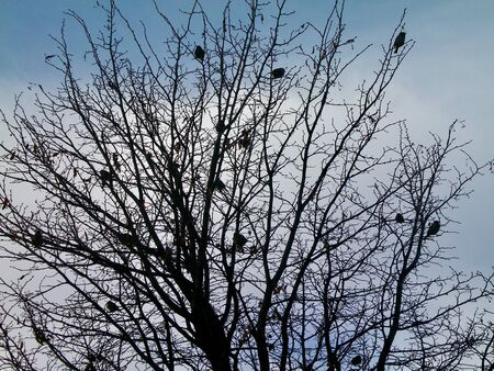 A dozen birds roosting in a tree. The tree and the birds are in silhouette against a blue sky with white clouds. The branches of the tree are bare, with only a few dead leaves.