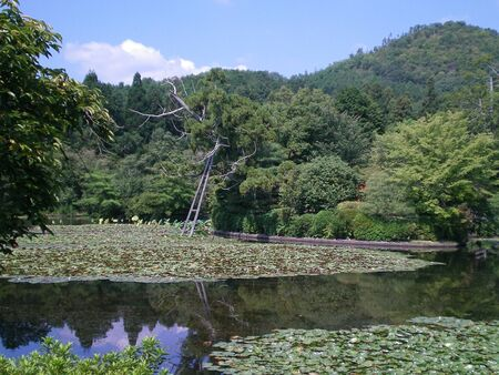 A large pond covered with lily pads and lily flowers. An old tree overhangs the pond, supported by wooden poles. These are reflected in the water. Trees surround the pond, and a hill covered with pine tress is in the distance.