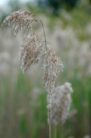 A single sheaf of flowering grass. The flowers are white and brown. The background is of blurred grasses.