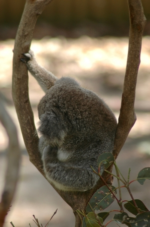 A koala sitting in the fork of a tree, scratching its ear. The koala has its face turned away. Some leaves frame the bottom of the shot