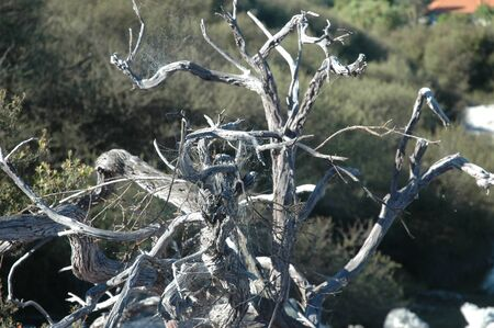 A dead tree bleached white by the sun. The branches are covered in cobwebs.