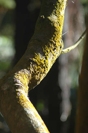 A bent tree trunk covered with yellow-green lichen. A small branch juts to one side. A spiderweb can just be seen.