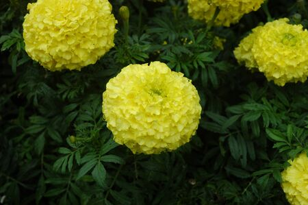 A cluster of yellow carnations growing on a bush. Some buds are hidden amongst the green foliage.