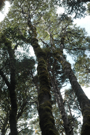 Looking up the trunks of tall trees into the canopy of leaves and branches spread out against the sky. The trunks are knobbly, and covered in moss. The sky is cloudy. Stock Photo