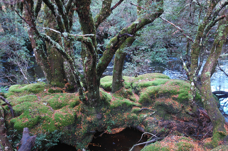 A cluster of bare trees stand on moss covered rocks in a stream. Fallen leaves surround them. Silver-green leaves are in the background.