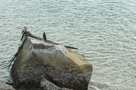 A cormorant sitting on a piece of driftwood resting on a rock. The ocean surrounds the rock. The rock is covered with barnacles.