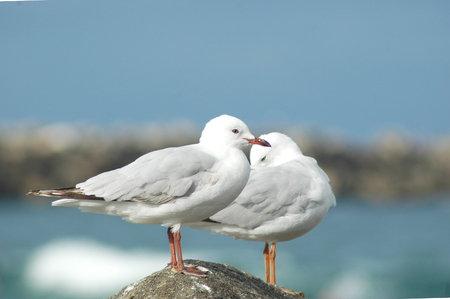 A closeup of two seagulls on a rock. One is preening itself. The sky is blue, with no clouds. A beach is in the background.