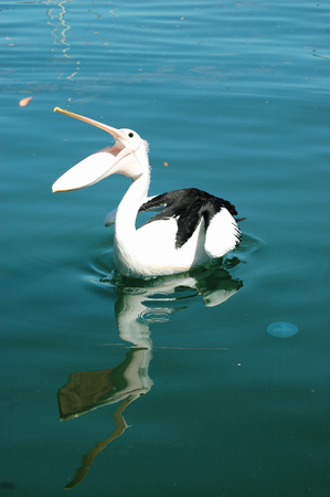A pelican swimming in still water is catching a prawn. His mouth is wide open. The bird is reflected in the blue water. A small jelybish floats nearby. Stock Photo - 92614046