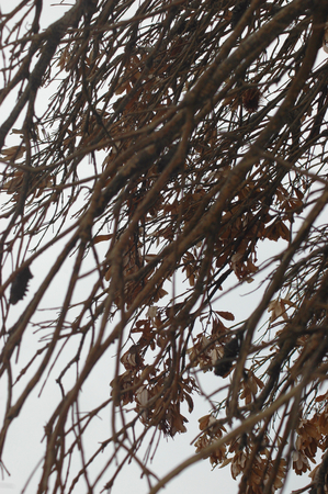 A close-up shot of branches of a banksia tree. They are covered with brown leaves and banksia cones. The sky is cloudy and grey.