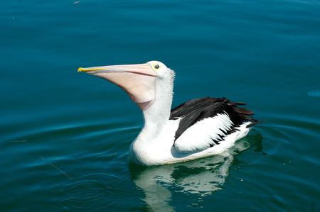 A pelican is floating on still blue water. His reflection is visible, and a jellyfish floats nearby. He is waiting to be fed. Stock Photo