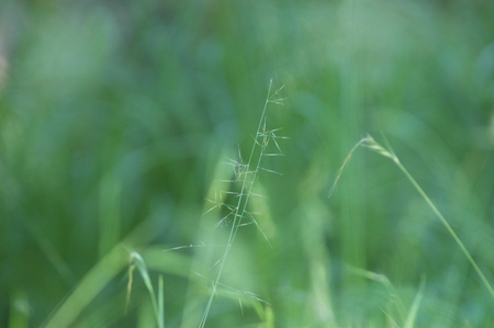 A stalk of grass with pale flower spikes is seen against a green background. A few other stalks are just visible.