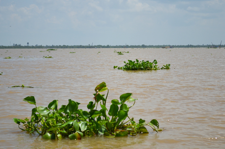 Clumps of green water plants floating on a river in the Mekong Delta. The water is muddy. A few buildings and cranes are in the distance. The sky is blue with faint clouds.