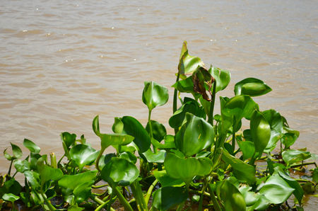 Green water plants have clustered together, and a floating on a brown river. They have no flowers, only lily-shaped leaves. The sun is sparkling on the water. Stock Photo