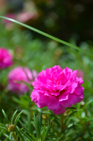 A bright pink flower blossoming on a bush. It has dozens of open petals. Other flowers are in the background. The photo has a short depth of field. Stock Photo