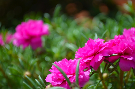A cluster of bright pink flowers blossoming on a bush. Other flowers are in the background amongst all the leaves. The photo has a short depth of field.