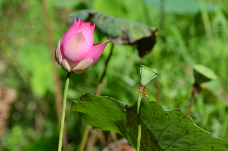 A pink water-lily flower is just beginning to open. Beside it are a few seed pods. The flower is bright against a background of out-of-focus leaves and grasses.