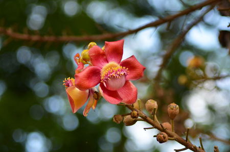 An unusal red tropical flower on the end of a branch. The flower has a pink and yellow centre, and is surrounded by brown buds. The background is out of focus. Stock Photo