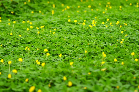 Bright green ground cover fills the view. Small yellow flowers rise above the leaves.