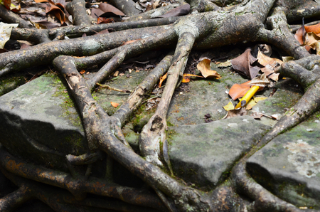 The roots of a tree have spread over a large rock. The rock forms part of a wall, and the roots have grown between the rocks. Fallen leaves of yellow and brown lie over the roots. Stock Photo