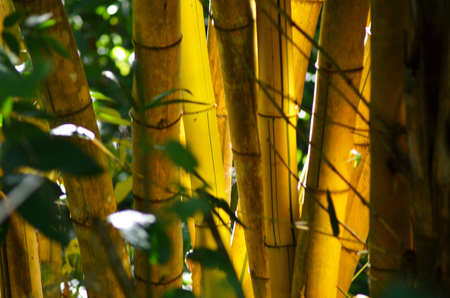 A patch of golden bamboo growing in a forest. It is luminescent in the soft light. Stock Photo