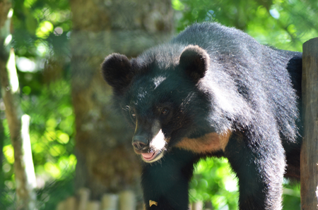 An Asian moon bear is standing in some sunshine. He is black in colour, and the moon-shaped marking is visible on his chest. He is against a background of greenery.