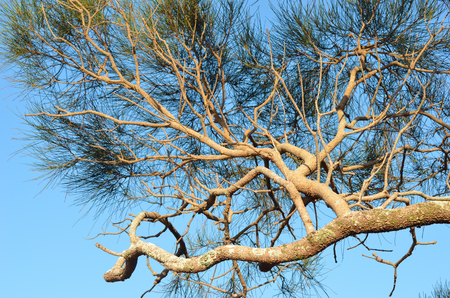 An Australian she oak tree is seen against a clear blue sky. The gnarled branches are a golden brown, with patches of lichen. The green leaves are needle shaped. Stock Photo