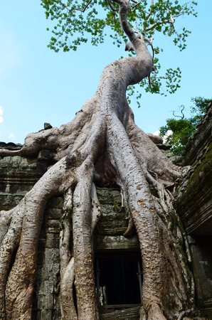The giant roots of a tree have spread over a temple, or wat, in Cambodia. The tree is covered in green leaves, and behind is a blue sky. The scene is deserted.