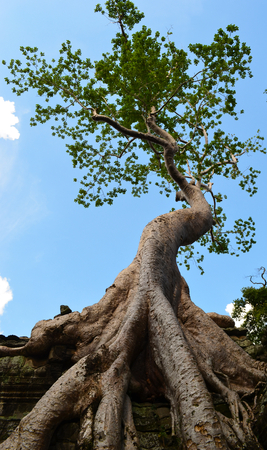 The roots of a giant tree are spreading over some stone ruins. The canopy of the tree is against a blue sky. The ruins are a wat, or temple, in Cambodia.