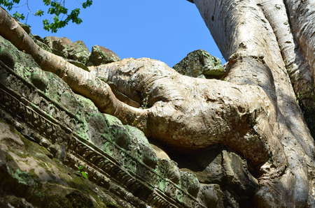 Giant twisted roots of a tropical tree have grown over a stone wall. The wall has carvings on it, and is covered in moss. It is part of a wat, or temple complex, in Cambodia. The sky is blue. Stock Photo