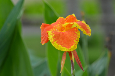 A tropical flower is seen against a background of gree. The petals are orange, with yellow around the edges.