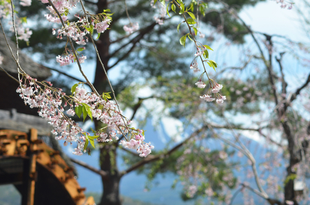Branches of cherry blossom can be seen drooping across the photograph. Behind (and out of focus) is an old wooden waterwheel. Snow on a mountain can also be seen - this is Mt Fuji. Stock Photo