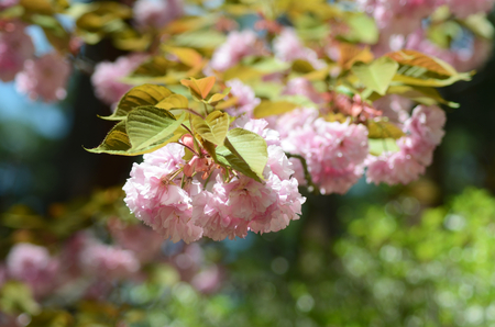 A branch of a cherry blossom tree is covered in pink flowers and delicate leaves.