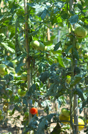 A cluster of staked tomato bushes. They are covered with green tomatoes and a single red tomato. Stock Photo