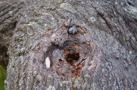 A tree trunk is covered with brown and red bark, which is cracked and textured. A hole has formed in teh trunk, with a few leaves and twigs inside.