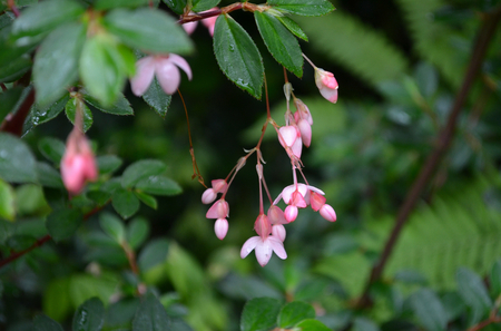 Delicate pink flowers hang from a bush. The petals are a combination of a pale pink and a darker rose-pink. They are seen against a background of green leaves. Stock Photo