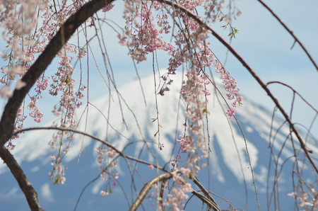 Pale pink cherry blossoms hang gracefully from a tree. Behind rises Mount Fuji, the cone covered with snow.