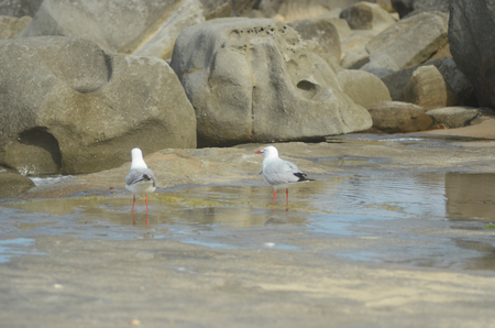 Two seagulls are standing in a rock pool. A pile of sandstone is in front of them. Their legs and beaks are red. Both are standing with their backs to the viewer, but one has his face turned to the side.