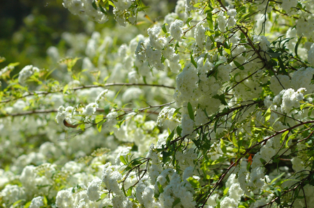 Branches of a tree are covered with small white blossoms and green leaves. Each flower has multiple petals. Stock Photo