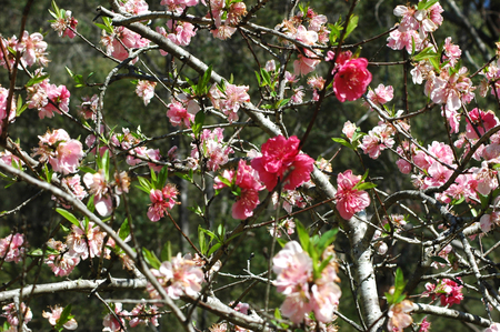 A fruit tree is covered with pink flowers. They are both pale and dark pink, with a few green leaves.