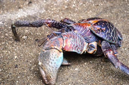 A coconut crab is making its way across a gravel path, an enormous pointer on display. It is missing a few legs. Its shell is covered with colourful patterns.