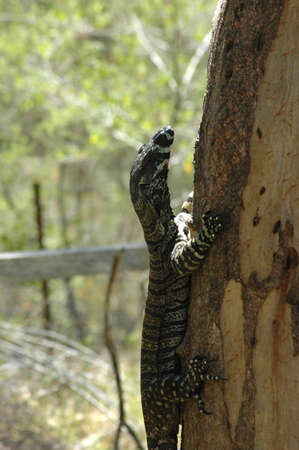 A goanna is climbing a tree trunk. HIs strong claws are clearly visible. The bark of the tree trunk is peeling. Behind is a forest and a wooden fence.
