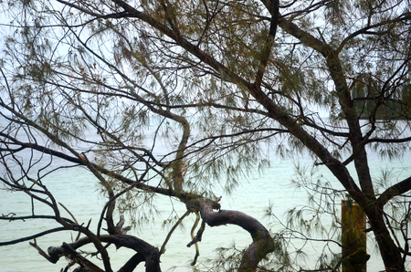 Aqua coloured water laps at beach. It is seen through the branches of a she-oak, which is covered with pine-shaped leaves and small cones.