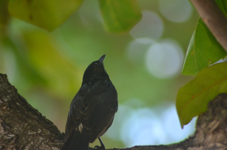 A small bird it sitting on the branch of a tree, with his back to the viewer. He is looking up into the trees. He is covered with black feathers, with a pale patch above his tail. Green leaves form the background. Stock Photo