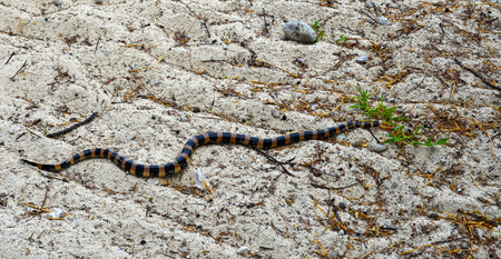 A sea snake covered in black and dark orange stripes is slithering towards a small green plant on white sand. The sand is covered with fallen leaves and twigs. Stock Photo