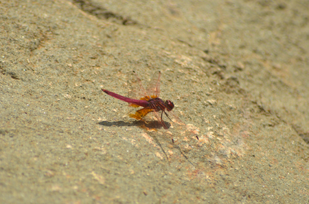 A dragon-fly has just landed on a rock. His wings are outstretched. His body and tail are red in colour, while his wings have tones of orange.