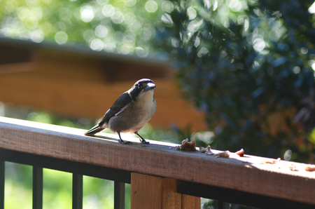 A butcher bird is resting on a fence rail, about to eat some scraps. The fence consists of a wooden rail and black metal poles. An out-of-focus garden is in the background. Stock Photo