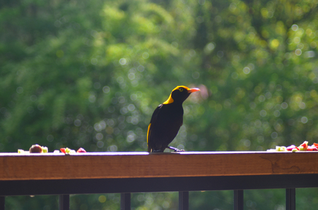 A Regents Bowerbird is standing on a fence. He has colurs of black and brilliant gold or yellow. Some fruit is to either side of him.