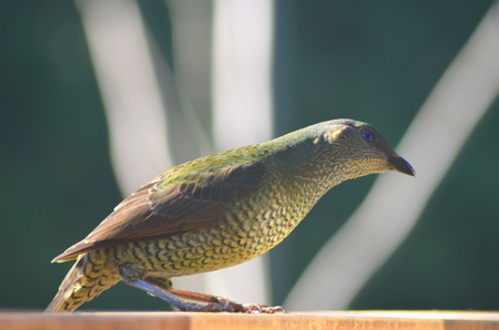 A female bowerbird is standing in profile on a fence. Her body is in tones of brown and green, and her eyes are blue. The white branches of a tree in the background form an abstract pattern. Stock Photo